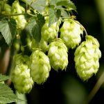 KHÁM PHÁ MỚI: Bí quyết nâng ngực bằng hoa Bia