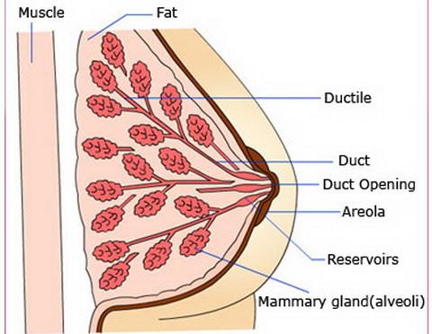 Phụ nữ không nên tự ti vì ngực teo nhỏ sau khi sinh2